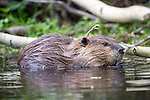 North American Beaver (Castor canadensis) feeding on Aspen twigs at the edge of a pond. Grand Teton National Park, Wyoming, USA. June