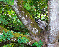 Raccoon relaxing in branches of old maple tree on summer day