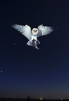 Barn Owl (Tyto alba), adult in flight with mouse prey, Dinero, Lake Corpus Christi, South Texas, USA