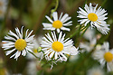 """Erigeron annuus, mid October. Common names include Tall fleabane, Annual fleabane  <br /> and Daisy fleabane. """"A tall, upright annual, lightly covered throughout in small white hairs, with alternating elliptical leaves. The flowering stems have crowded terminal clusters of white daisies, each about 1.5cm wide, consisting of masses of thin white ray florets surrounding a central yellow disc...The flowers are insignificant at the outset but make up for it in sheer numbers, providing a profusion of white for an exceptionally long period [July-November]. Self sows freely when tufts of seed are carried by the wind."""" [Fergus Garrett, Great Dixter, Nurseryman's Favourites, Gardens Illustrated magazine, September 2013]"""