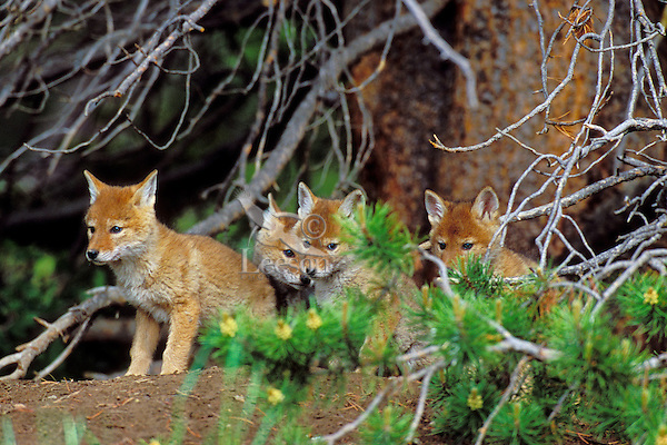 Wild Coyote pups sitting on dirt mound near densite.  Western U.S., June.  (Den is under the roots of the trees in background).