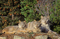 Adult lynx with kittens (Lynx canadensis), Pacific N.W.