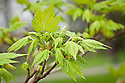 New young foliage and flower buds of Acer caudatum subsp. ukurunduense, late March. Known as Arahaga maple, Manchurian maple, and Ukurundu maple. From China and other parts of eastern Asia.