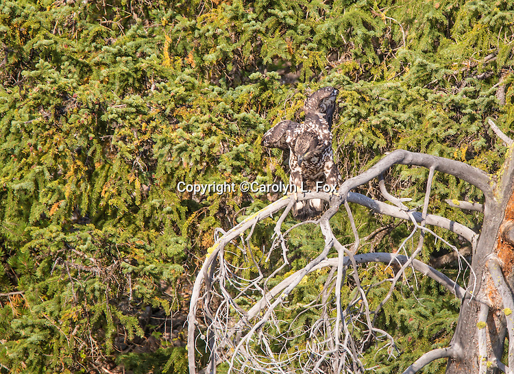 An immature bald eagle sits in a tree in Yellowstone Nationalal Park.