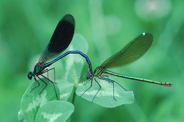 Banded Demoiselle (Calopteryx splendens), pair mating, Zug, Switzerland