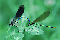 Banded Demoiselle (Calopteryx splendens), pair mating, Zug, Switzerland