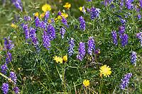 Vogel-Wicke, Vogelwicke, Wicke, Vicia cracca, tufted vetch, cow vetch, bird vetch, blue vetch, boreal vetch, La Vesce craque