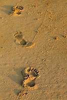 Foot steps in the sand of a NC beach. Photo is part of a series of images taken at Pamlico Sea Base, a Boy Scouts of America High Adventure Camp located on the Pamlico River south of Washington, NC. The BSA Sea Base program is centered around sea kayaking treks on the North Carolina Outer Banks and sailing programs on the historic Pamlico River...Photography by: Patrick Schneider Photo.com
