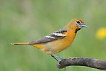 Baltimore oriole - female