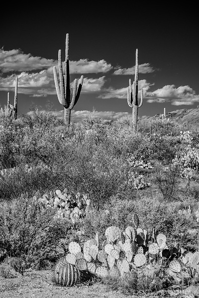 Black and white image of Saguaros and cactus on cloudy day