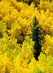 An evergreen stands out in stark contrast to the changing colors of Aspens.