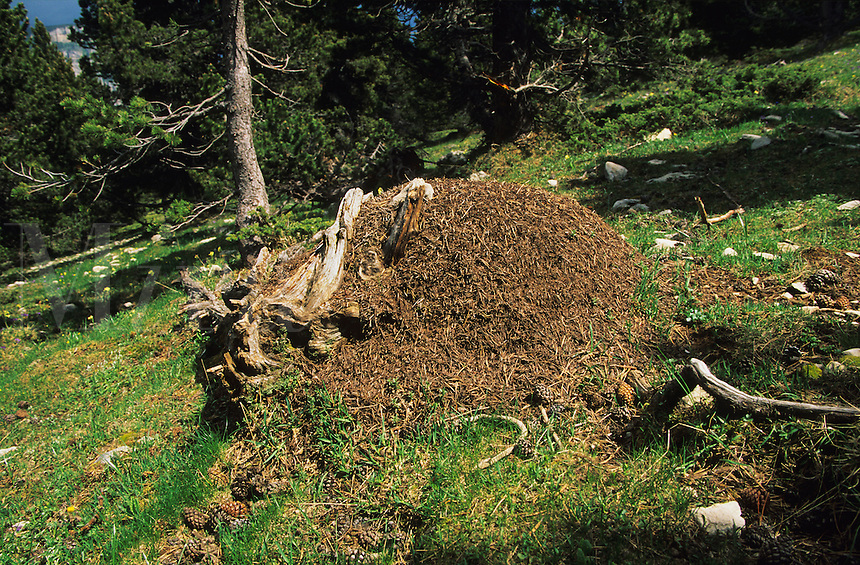 Ants' nest/anthill built around and inside the roots of an old dead tree.  Glandasse, Vercors, Drome, France.