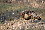 Male wild turkey in spring