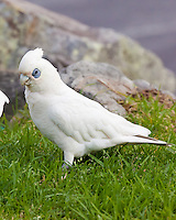 Little Corella, Iluka, NSW, Australia