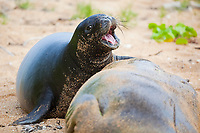 Hawaiian monk seals, Neomonachus schauinslandi, Critically Endangered endemic species, 5-week old pup (will be weaned in 6 days), with strand of thick, rich milk stretched between jaws, crying for more milk while mother naps, Larsen's Beach, Moloa'a, Kauai, USA, Pacific Ocean