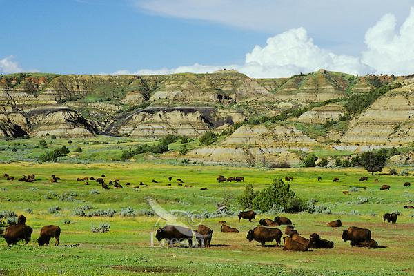 MB211  Bison herd, Theodore Roosevelt National Park, North Dakota.  Summer.