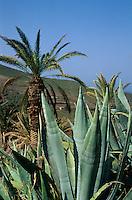 Spanien, Kanarische Inseln, Gran Canaria, Tal von Agaete, Agave