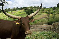 Rwanda. Southern province. Rugobagoba village. View on the green hills. Long horned Ankole Watusi cows of the Sanga type.A cow with its big horns. Yellow plastic label on the right ear. Sanga cattle is the collective name for indigenous cattle of sub-Saharan Africa. Sanga cattle are sometimes identified as a subspecies with the scientific name Bos taurus africanus. Sanga are an intermediate type, probably formed by hybridizing the indigenous humpless cattle with Zebu cattle. However, archaeological evidence indicates this cattle type was domesticated independently in Africa, and bloodlines of taurine and zebu cattle were introduced only within the last few hundred years.They are distinguished by having small cervicothoracic humps instead of the high thoracic humps which characterize the Zebu. © 2007 Didier Ruef