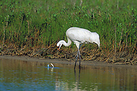Whooping Crane (Grus americana) feeding on blue crab (crab is trying to defend itself) in salt marsh, Aransas NWR, Texas.