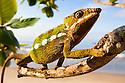 Panther Chameleon {Furcifer pardalis} in tree. Masoala Peninsula National Park, north east Madagascar.