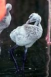 caribbean flamingo 2 week old chick