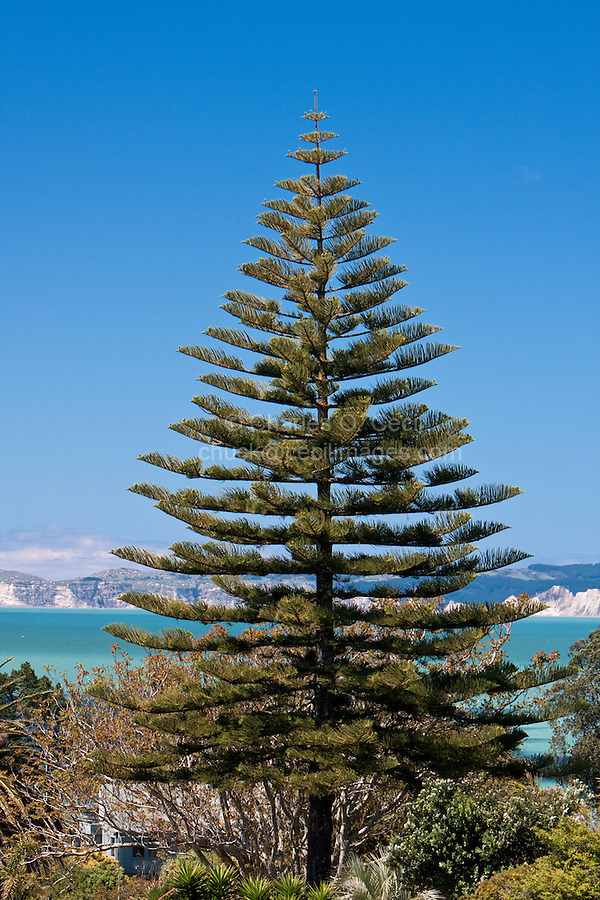 Norfolk Pine, Napier, north island, New Zealand.