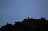 A herd of bighorn sheep stand high above Gardiner Canyon at dusk.