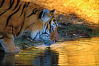 BENGAL TIGER drinking at sunset. (Panthera tigris).