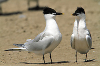 Pair of sandwich terns in March