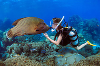 Humphead Wrasse, Cheilinus undulatus and a female diver, Great Barrier Reef, Coral Sea, South Pacific Ocean, Queensland, Australia