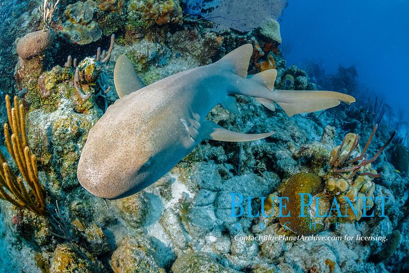 Nurse shark (Ginglymostoma cirratum), swimming on the reef, Chinchorro Banks (Biosphere Reserve), Quintana Roo, Mexico