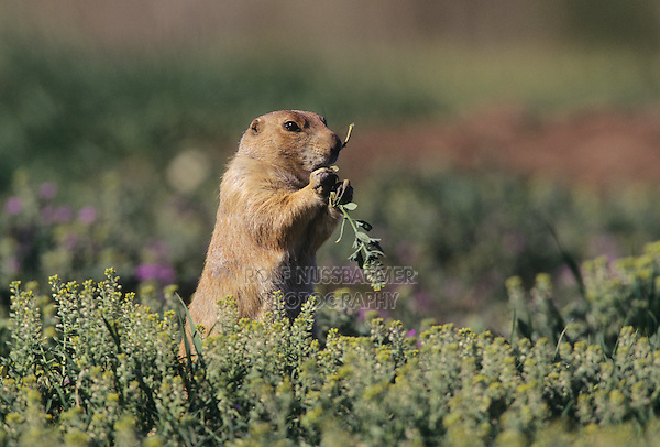 Black-tailed Prairie Dog (Cynomys ludovicianus), adult eating, Colorado, USA