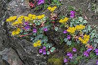 Spearleaf Stonecrop or Lanceleaf Stonecrop or Lance-leaved Stonecrop (Sedum lanceolatum) and Davidson's Penstemon (Penstemon davidsonii) growing on rocky cliff.  Pacific Northwest.