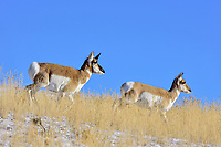 Pronghorn Antelope (Antilocapra americana) buck and doe on grasslands along northern boundry of Yellowstone National Park, Montana.  December.   Has lost the outer sheath of his horns.