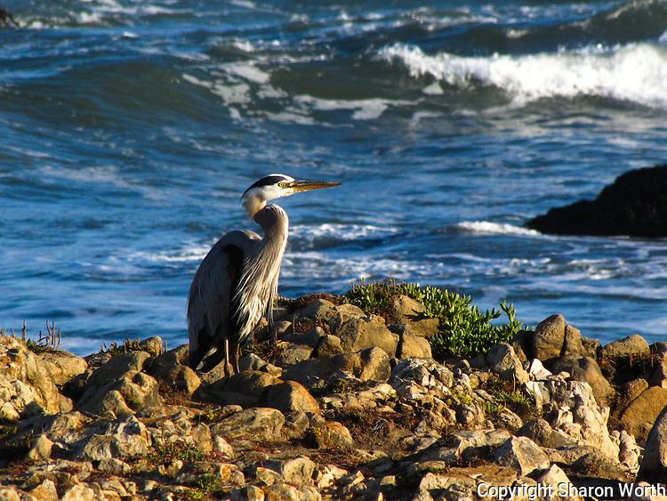 A Great Blue Heron faces the rising sun on a rocky outcrop at Pescaderso State Beach, California.