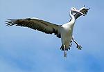 Australian Pelican - pelicanus conspiciallatus