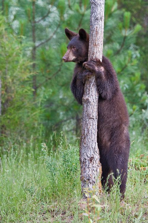 Black Bear (Ursus americanus) standing and leaning against a tree near Kalispell, Montana, USA - Captive Animal