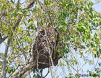 0101-1207  Arboreal Termite Nest (Central American Jungle), Drywood Termite  © David Kuhn/Dwight Kuhn Photography