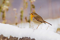 European Robin, Erithacus rubecula, adult on fence with snow, Flachsee, Switzerland, Europe