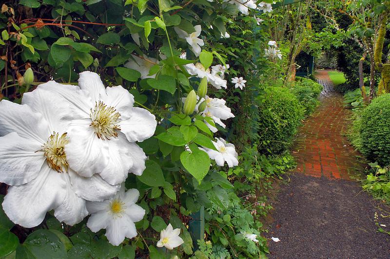 White Clematis flower and path. Deepwood Estates. Salem. Oregon