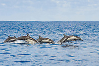 A group of Short-beaked Common Dolphin, Delphinus delphis, porpoising, Costa Rica, Pacific Ocean