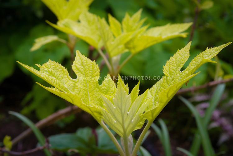 Emerging gold foliage of Hydrangea quercifolia 'Little Honey' Oak Leaved hydrangea in spring