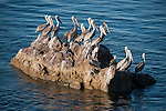 Sea of Cortez, Baja California, Mexico; several Brown Pelican (Pelecanus occidentalis) birds and one Blue-footed Booby (Sula nebouxii) bird perched on a rock outcropping off Salsipueded Island in late afternoon sunlight