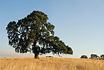 Oak trees on the golden hills on a summer morning, Amador Country, Calif.