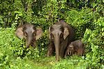 Borneo Pygmy Elephant (Elephas maximus borneensis) females and calf grazing, Kinabatangan River, Sabah, Borneo, Malaysia