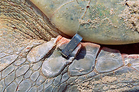metal identification tag is attached to flipper of nesting Kemp's ridley sea turtle, Lepidochelys kempii (endangered), Rancho Nuevo, Mexico (Gulf of Mexico), Atlantic Ocean