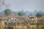 Male Indian blackbuck (Antilope cervicapra) posturing. Arable fields on the edge of the buffer zone. Satpura National Park, Madhya Pradesh, India.