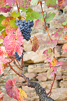 vineyard grape bunch quinta do seixo sandeman douro portugal