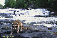 MA25-137z  Raccoon - young raccoon exploring by stream - Procyon lotor