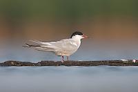 A banded Forster's Tern (Sterna forsteri), East Pond, Jamaica Bay Wildlife Refuge